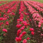 Rose Water Toner Spray / Organic Rose Water